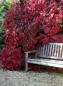 Foto 2: PdM. - Viel Farbe auif kleiner Fläche: Kletterpflanzen benötigen nur wenig Platz. Der Wilde Wein ist ein besonders eindrucksvoller Kletterer, denn seine Blätter färben sich im Herbst feurig rot.