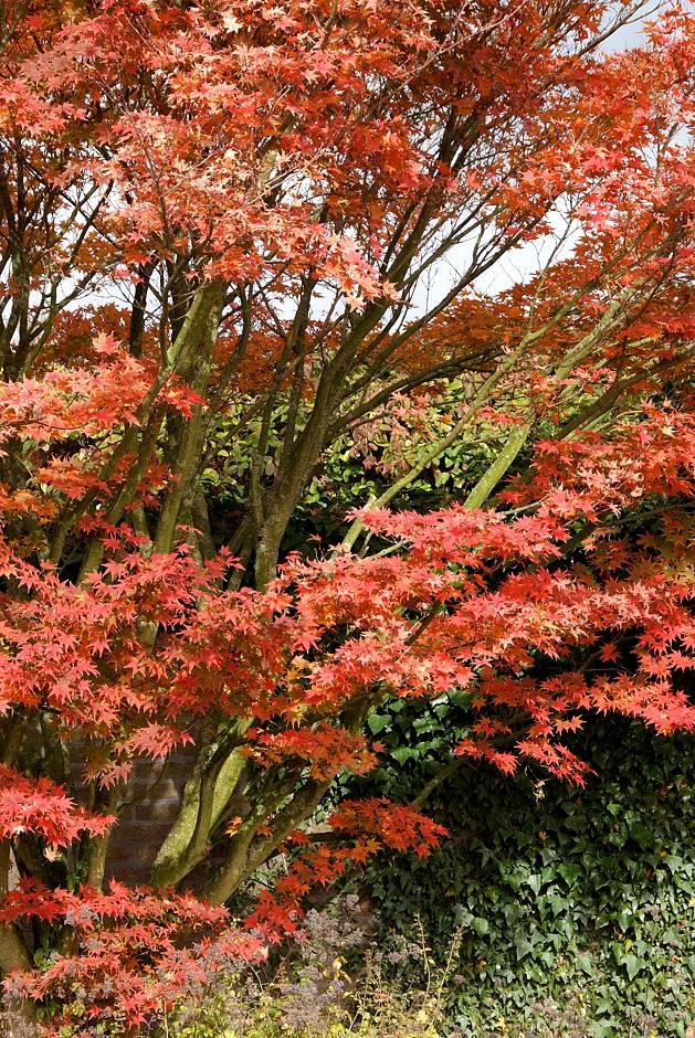 Foto 1: PdM. - Ein gut und abwechslungsreich geplanter Garten bietet im Herbst eine Fülle an Eindrücken. Die prachtvollen Herbstfarben vieler Ahornarten reichen von leuchtenden Gelb- und Orangetönen bis hin zu tiefem Rot.
