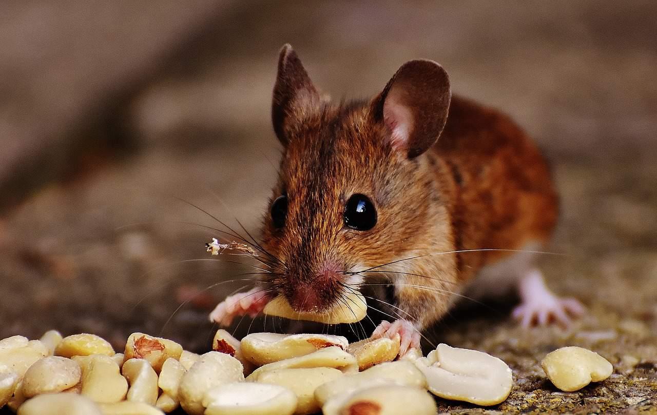 Mäuse im Haushalt kann den Bewohnern das Leben schwer machen
